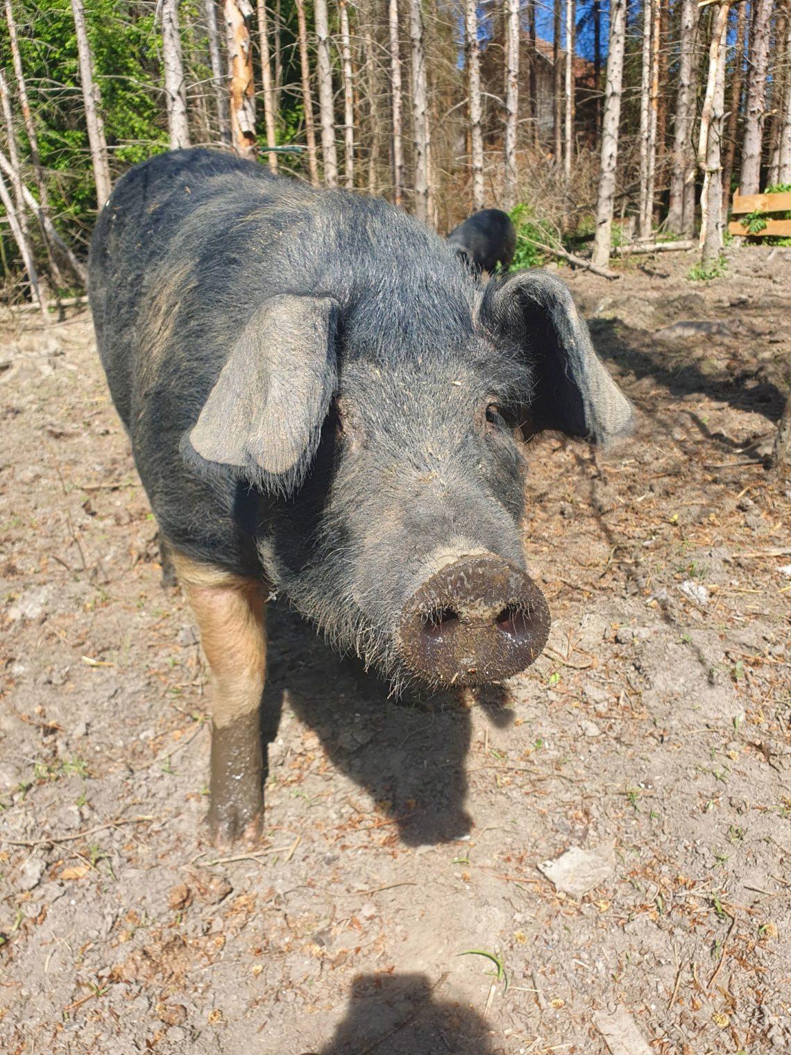 Mangalitza Schwein