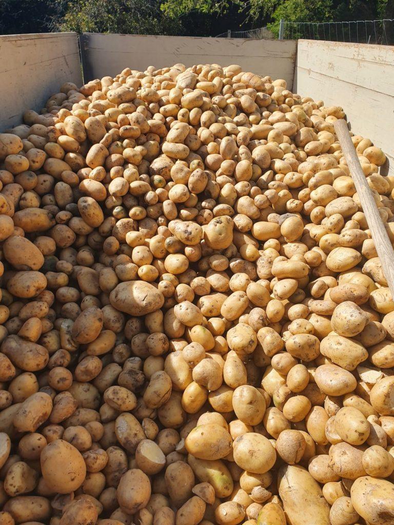 Kartoffeln im Anhänger