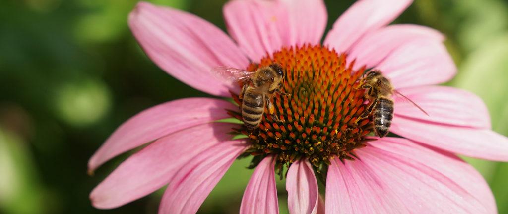 zwei Bienen auf einer Blüte