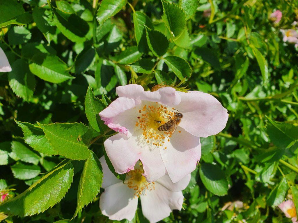 Biene auf Wildrose
